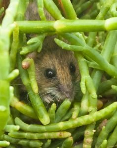 Salt marsh harvest mouse peeking out from green pickle weed