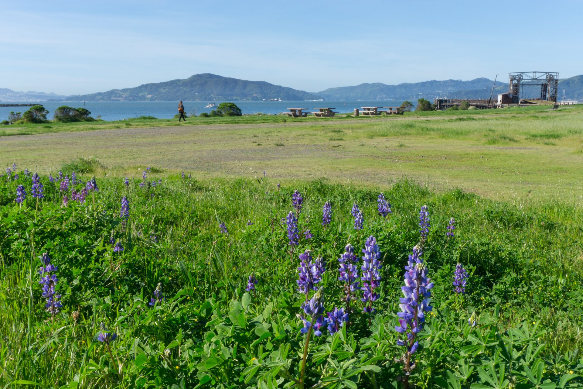 Purple lupine in foreground, grassy meadow, bay and Mt Tamalpais in distance