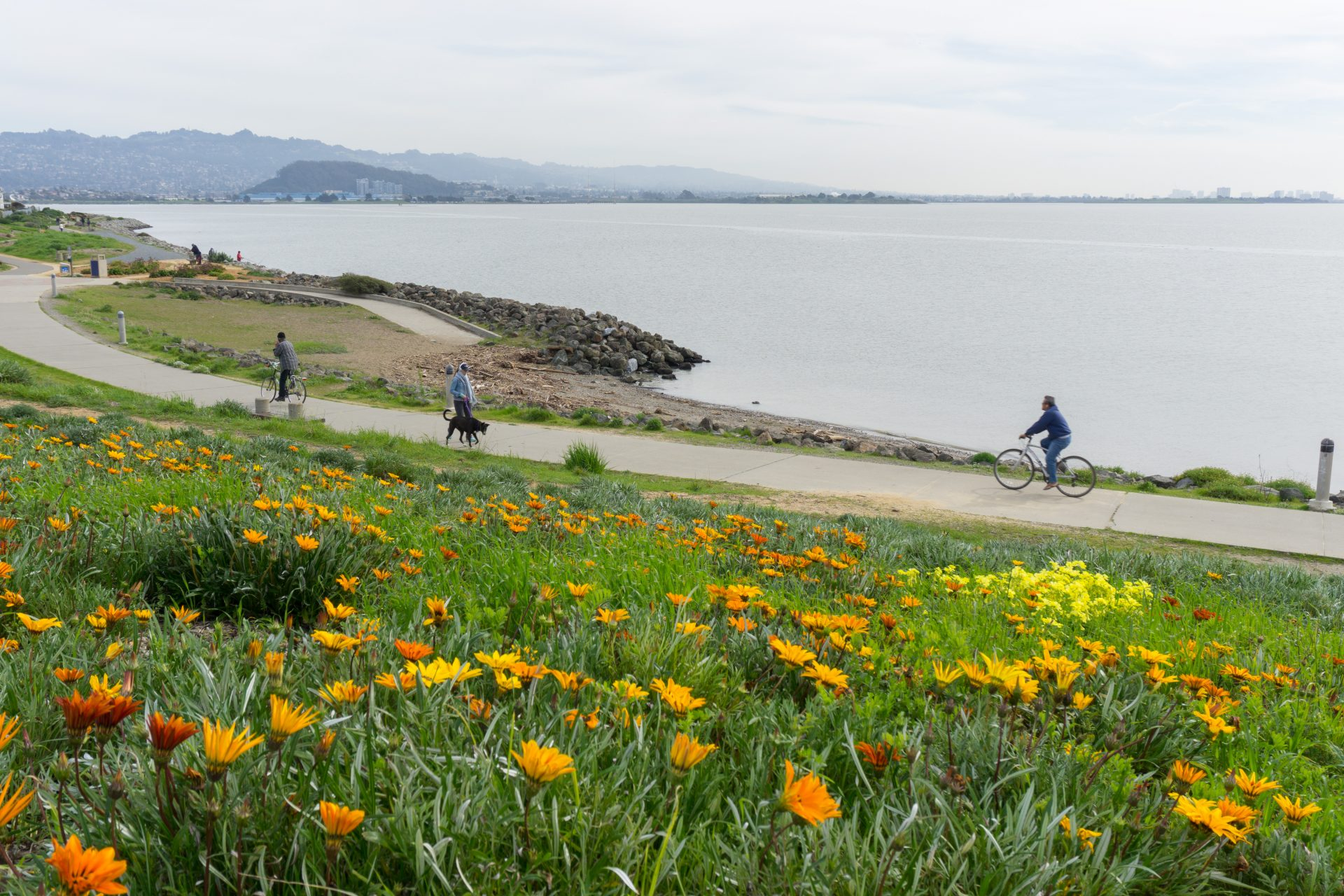 Orange flowers in foregounrd, biyclists and dog walker passing on paved path, Bay beyond